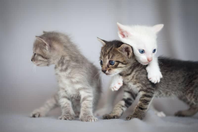 Éleveur de chats