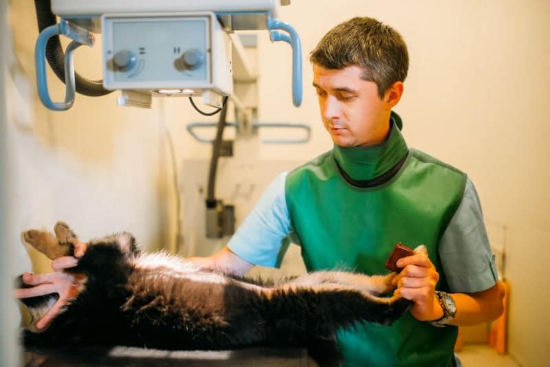 Vétérinaire qui fait une radio d'un animal